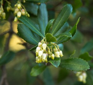 Arbutus or Irish Strawberry flower