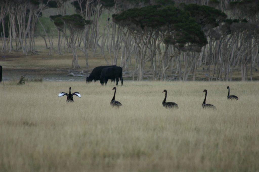 Swans, cattle and trees, King Island